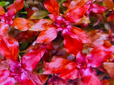 3 x Ludwigia P. Super Red inkl. Versand