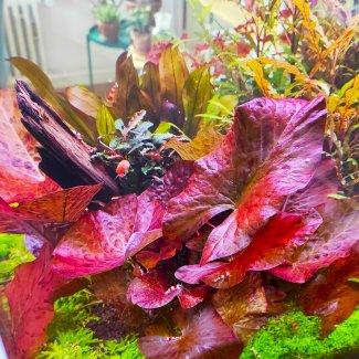 1 x Nymphaea Lotus Red inkl. Versand - Gratisinserat.ch