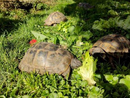 Schildkröten - Gratisinserat.ch
